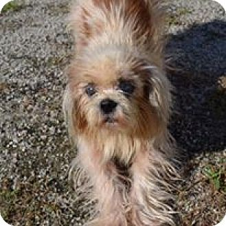 Shih Tzu Mix Dog for adoption in Red Lion, Pennsylvania - JESSIE