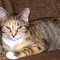 Domestic Shorthair Cat for adoption in Youngsville, North Carolina - Darby