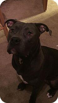 American Pit Bull Terrier Mix Dog for adoption in Anchorage, Alaska - Delilah