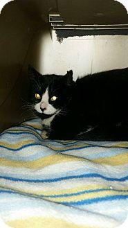 Domestic Shorthair Cat for adoption in Hinton, Alberta - Barn Cat 1