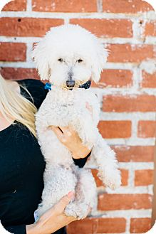 Poodle (Miniature)/Goldendoodle Mix Dog for adoption in Los Angeles, California - Coconut