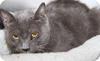 Domestic Shorthair Cat for adoption in Marietta, Ohio - Jasmine (Spayed)