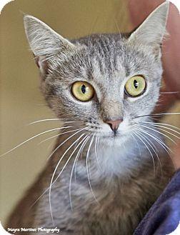 Domestic Shorthair Cat for adoption in Homewood, Alabama - Shirley