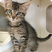 Adopt A Pet :: Tiger - Breese, IL