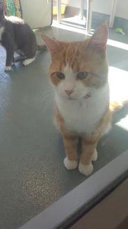 Domestic Shorthair/Domestic Shorthair Mix Cat for adoption in BATH, New York - McCloud