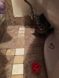 Domestic Shorthair Kitten for adoption in Littleton, Colorado - Olivia