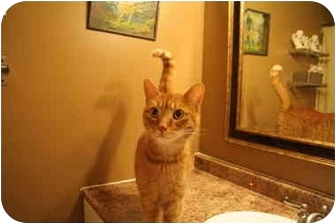 Domestic Shorthair Cat for adoption in Mississauga, Ontario - Charlie