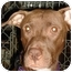 Photo 4 - American Staffordshire Terrier Mix Dog for adoption in East Rockaway, New York - Holly