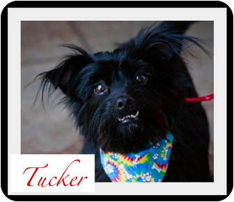 Yorkie, Yorkshire Terrier/Schnauzer (Miniature) Mix Dog for adoption in Orange, California - Tucker