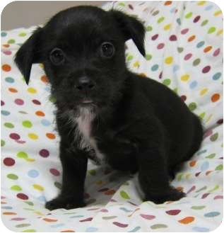 Cairn Terrier/Terrier (Unknown Type, Small) Mix Puppy for adoption in Plainfield, Illinois - Rudolph