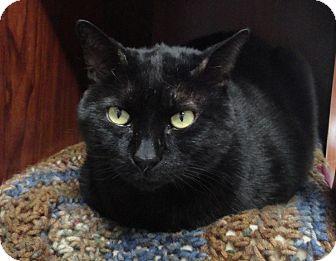 Domestic Shorthair Cat for adoption in Palatine, Illinois - Bob