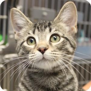 Domestic Shorthair Kitten for adoption in Naperville, Illinois - Berg