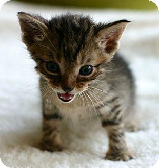 Domestic Shorthair Kitten for adoption in Austin, Texas - Peach