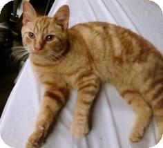 Domestic Shorthair Cat for adoption in Lancaster, Massachusetts - Nikki