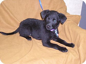 "Labrador Retriever/Rottweiler Mix Puppy for adoption in New Castle, Pennsylvania - "" Morgan """
