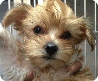Yorkie, Yorkshire Terrier/Maltese Mix Puppy for adoption in New York, New York - Ali