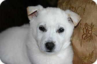 Shiba Inu/Labrador Retriever Mix Puppy for adoption in Shelter Island, New York - Dante