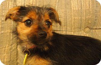 Yorkie, Yorkshire Terrier/Pomeranian Mix Puppy for adoption in Prole, Iowa - Foxy