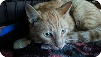 Domestic Shorthair Cat for adoption in Seattle, Washington - Spruce