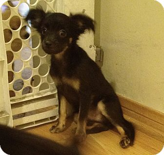 Chihuahua Mix Puppy for adoption in Studio City, California - Scooby