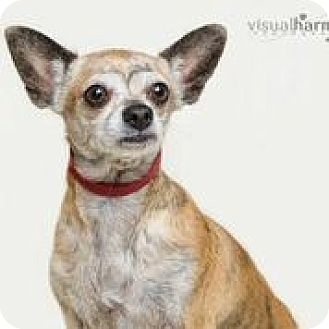 Chihuahua/Terrier (Unknown Type, Small) Mix Dog for adoption in Phoenix, Arizona - Moochie