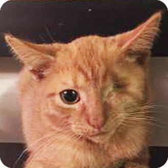 Domestic Shorthair Kitten for adoption in Cheltenham, Pennsylvania - Captain William Kidd