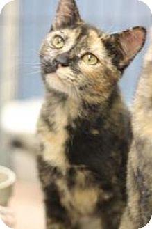 Domestic Shorthair Cat for adoption in Yukon, Oklahoma - Chloe