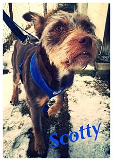 Schnauzer (Miniature)/Terrier (Unknown Type, Medium) Mix Dog for adoption in Youngstown, Ohio - Scotty ~ Adoption Pending