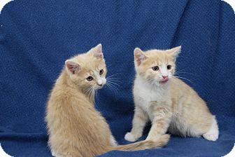 Domestic Shorthair Kitten for adoption in Highland Park, New Jersey - Sweet Milk Shannon