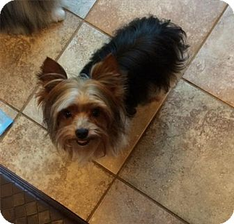 Yorkie, Yorkshire Terrier Dog for adoption in Freeport, New York - Nemo