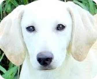 "Labrador Retriever Mix Puppy for adoption in Winchester, Kentucky - CANDY(OUR ""LAB PETITE"" PUPPY!"