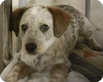 Australian Cattle Dog Puppy for adoption in Knoxville, Iowa - Cheyenne