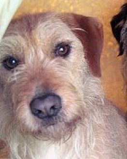 Wirehaired Fox Terrier/Airedale Terrier Mix Dog for adoption in Pt. Richmond, California - BETTY and SNICKERS