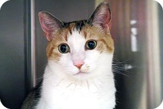 Domestic Shorthair Cat for adoption in Bellevue, Washington - Zoey