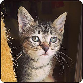 Domestic Shorthair Kitten for adoption in Marietta, Georgia - Indy