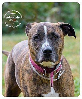 Hound (Unknown Type)/Boxer Mix Dog for adoption in Batavia, Ohio - Twix