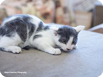 Domestic Shorthair Kitten for adoption in Homewood, Alabama - Stanley