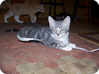 Domestic Shorthair Cat for adoption in Fallon, Nevada - Stanley