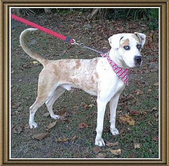 Catahoula Leopard Dog Mix Dog for adoption in Ocala, Florida - Tug