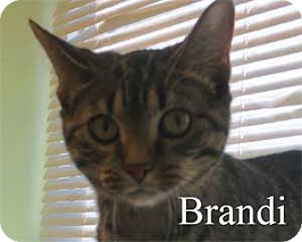 Domestic Shorthair Kitten for adoption in Warren, Pennsylvania - Brandi