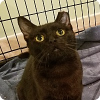 Adopt A Pet :: Dove -Adoption Pending! - Colmar, PA