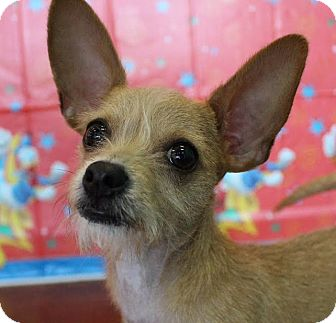 Terrier (Unknown Type, Small)/Chihuahua Mix Puppy for adoption in Las Vegas, Nevada - Benji