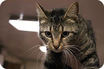 Domestic Shorthair Cat for adoption in Daytona Beach, Florida - Laya