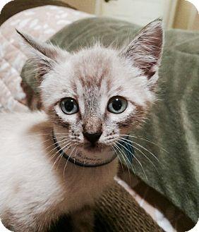 Siamese Kitten for adoption in Horseshoe Bay, Texas - Nico