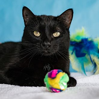 Domestic Shorthair Cat for adoption in Houston, Texas - Chancla