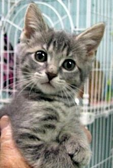 Domestic Shorthair/Domestic Shorthair Mix Cat for adoption in Las Cruces, New Mexico - Marlin