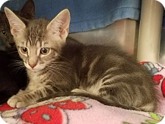 Domestic Shorthair Kitten for adoption in Stillwater, Oklahoma - Priscilla
