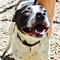 Pit Bull Terrier Mix Dog for adoption in Danbury, Connecticut - Colfax
