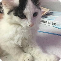 Domestic Mediumhair Kitten for adoption in Orleans, Vermont - Mr. Goodbar