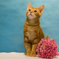 Domestic Shorthair Cat for adoption in Houston, Texas - Olive